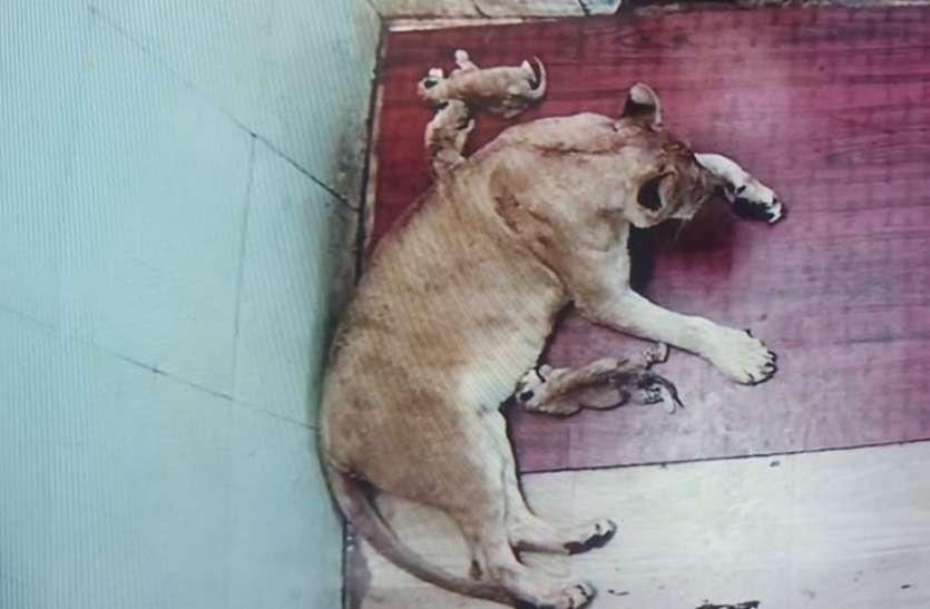 big news पहली ह्वाइट टाइगर सफारी में शेरनी ने  जन्में तीन शावक