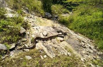 Forest : अजगर ने शिकार तो किया लेकिन निगल पाता, इससे पहले ग्रामीण आ गए