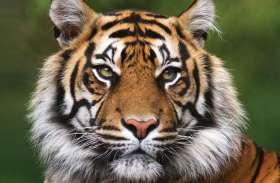 बाघ को उसकी धारियों से पहचान लेते हैं