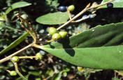 Herbal Tonic: हार्मोन्स को संतुलित बनाने में अहम भूमिका निभाती है लौध्र