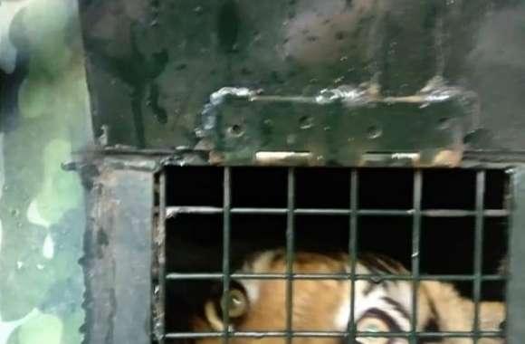 Watch Video... पांच दिन के ऑपरेशन के बाद कैसे पकड़ा गया आदमखोर बाघ