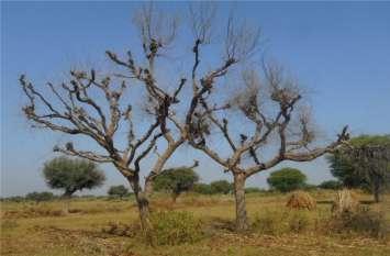 राज्य वृक्ष खेजड़ी दीमक की चपेट में, धराशायी हो रहे पेड़