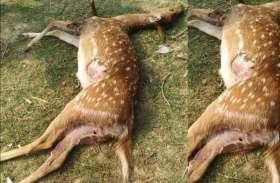 Wild boar पकडऩे बिछाया था जाल, फंस गए दो हिरण, 10 लोगों ने बांट लिया आपस में, ये मिली सजा