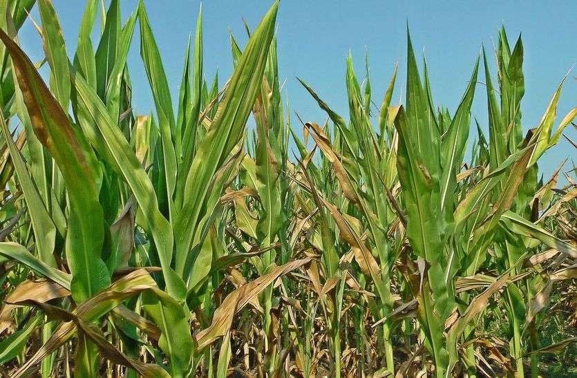 तीन नए जीन... जो पौधों के लक्षणों को करते हैं नियंत्रित