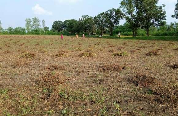 सोयाबीन की कटाई में लगे किसान, लागत निकलना भी हो रहा मुश्किल