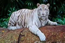 नंदनकानन जू की रौनक था व्हाइट टाइगर 'शुभ्रांशु', इस गंभीर बीमारी से हुई मौत