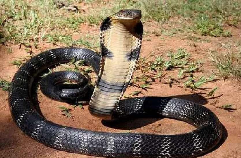 Snake charmer and cobra Fight