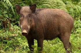 जंगली शूकर का शिकार करते चार लोगों को पुलिस ने पकड़ा, जानवर के मांस सहित जब्त हुए ये सामान