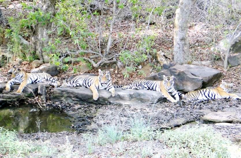 पर्यटकों के लिए आज से खुलेगा पन्ना टाइगर रिजर्व, बाघों के होंगे दीदार