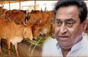 राजधानी पहुंचा 17 गायों की मौत का मामला, सीएम कमलनाथ के आदेश के बाद अब इनपर गिरेगी गाज