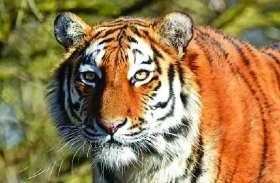 बाघ परियोजना के कोर जोन में नहीं रहेगा रावली-टाडगढ़ का वनक्षेत्र