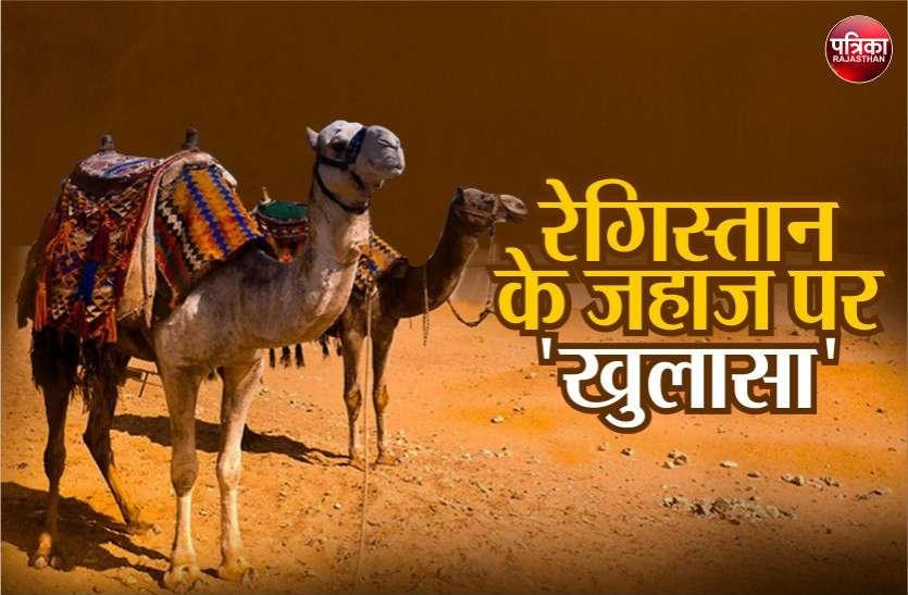राजस्थान में ऊंटों की संख्या पर हुआ बड़ा खुलासा, जानकार हर कोई हैरान