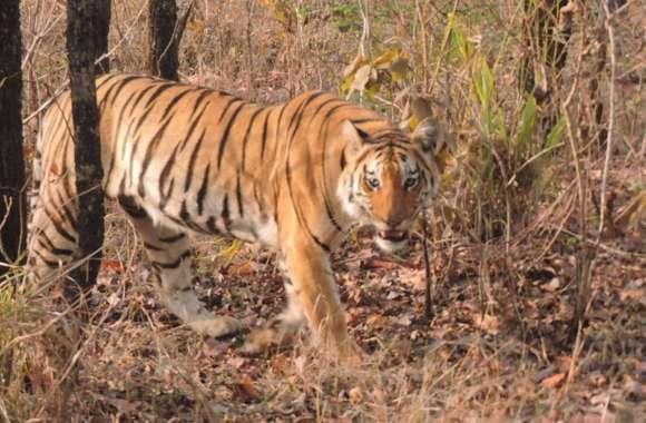 संजय टाईगर रिजर्व के मादा बाघ टी-20 की मौत