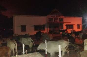 देर रात तक शहर के आवारा मवेशियों को धर पकड़ करते रहे नपाकर्मी