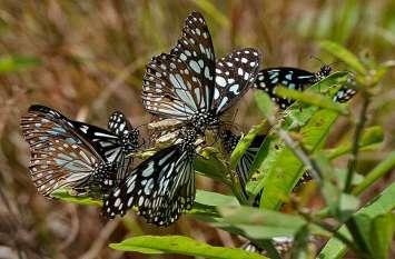 फिर अपने अस्तित्व की लड़ाई लड़ने को तैयार हुआ तितलियों का झुंड, तय करेंगी इतना लंबा सफर