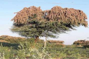 बाड़मेर में टिड्डी दल का हमला, किसान भयभीत