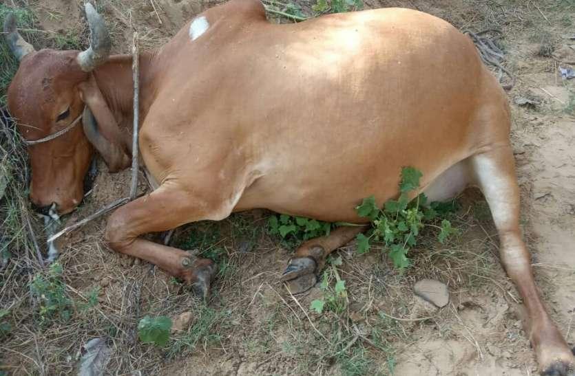 झूल रही बिजली लाइन के करंट से गाय की मौत
