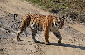 कीटनाशक से हुई बाघ की मौत