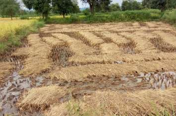 बे मौसम बारिश से फसल हुई बर्बाद किसान के चेहरे चिंतित