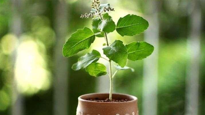 वास्तुशास्त्र के अनुसार, तुलसी का पौधा वास्तुदोषों को खत्म कर देता है