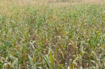 8 एकड़ में सोयाबीन की फसल पर खर्च हुए 80 हजार रुपए, उपज मिली महज 11 क्ंिवटल