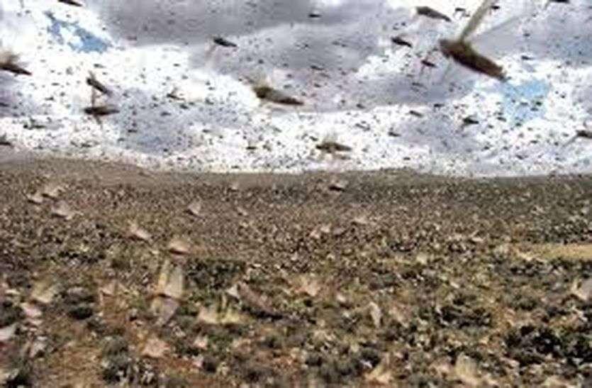 राववाला क्षेत्र में टिड्डियों का फिर हमला
