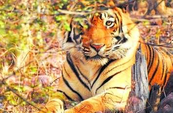 खुलासा: टाइगर और इंसानों के बीच टकराव की वजह 62 प्रजातियों के वन्यजीव, कैसे, पढि़ए खबर