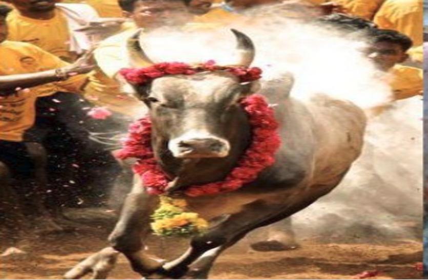 दीपावली के मौके पर अनोखी परंपरा: दौड़ में अव्वल रहने वाली गाय से जानते हैं भविष्य