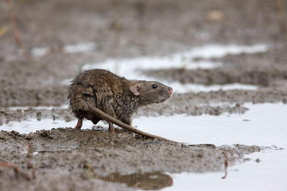 यह शहर 70 सालों से चूहों से मुक्त है यह शहर