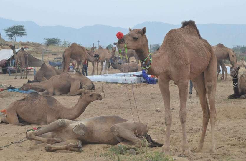 Pushkar mela 2019: धोरों में मचेगी सांस्कृतिक आयोजन की धूम