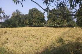 बारिश ने किसानों के मनसूबों पर फेरा पानी