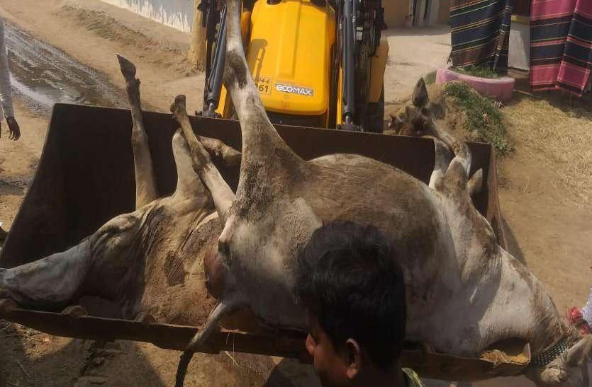 एक साथ 10 गायों की मौत, 50 से ज्यादा बीमार, लाश देखकर अधिकारियों के उड़े होश