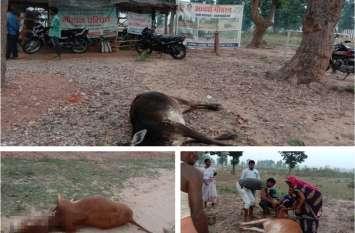 आदर्श गोठान में 2 गायों की मौत मामले में पंचायत सचिव और पशु डॉक्टर पर गिरी गाज, कलेक्टर ने दी ये सजा