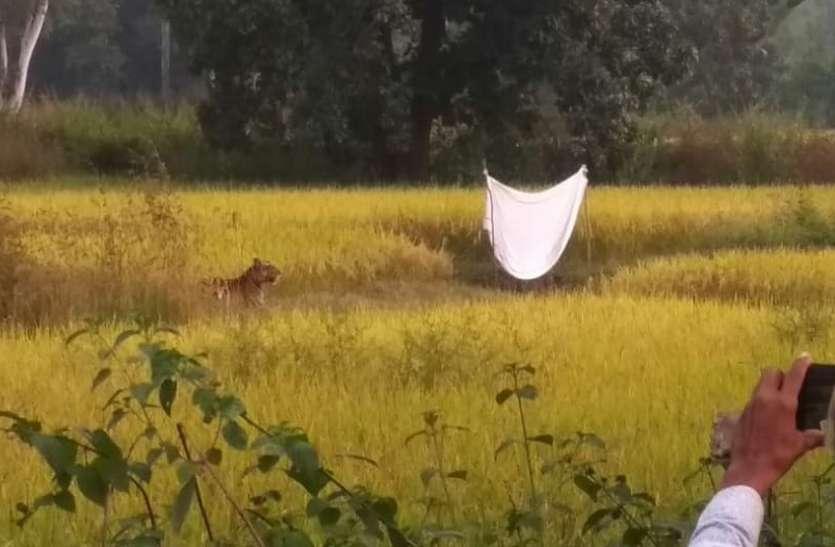 अलवर धर्मपुरा के खेतों में आया बाघ