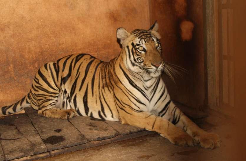 बिलासपुर के कानन पेंडारी जू में हुआ कुछ ऐसा की खड़े-खड़े कांप रहे शेर, भालू, चीता और टाइगर