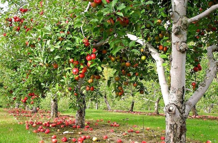 जम्मू-कश्मीर में बर्फबारी से सेब के बागों को नुकसान