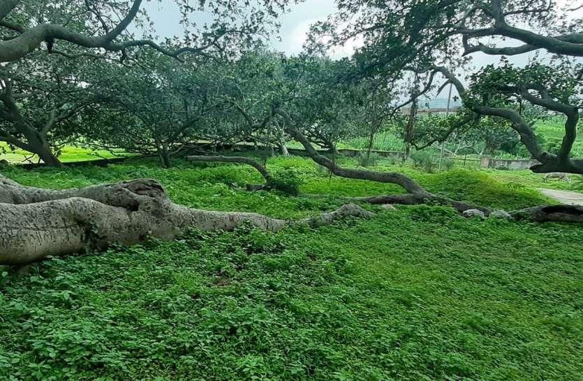 उदयपुर के फलासिया में देश के सबसे बड़े बरगद का 'इतिहास