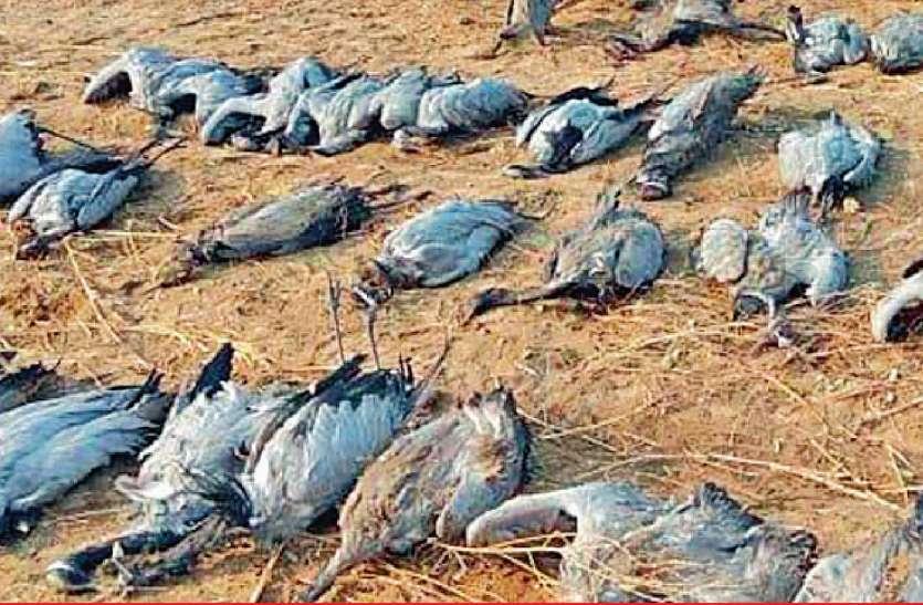 Domoiselle cranes : Kutch में 50 से ज्यादा  Migratory birds कुरजा की मौत