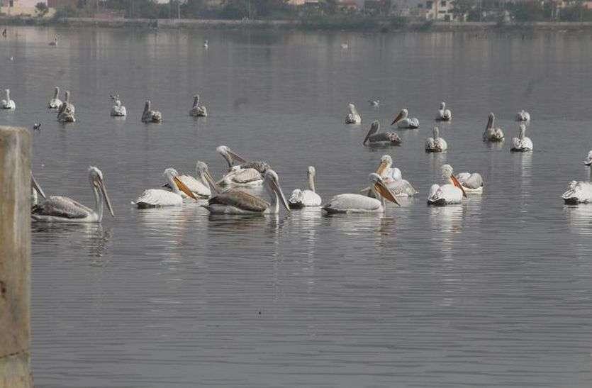 Birds Died: सांभर झील में बढ़ रहा घातक प्रदूषण, खेल रहे पक्षियों की जिंदगी से