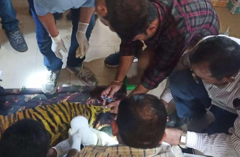 बाघ शावक को आखिर ऐसा क्या हुआ कि जबलपुर से मुकुंदपुर भेजा, जहां पूरे प्रदेश के वाइल्ड लाइफ विशेषज्ञों की है नजर