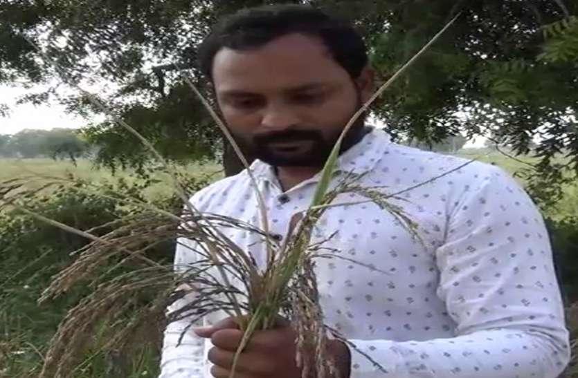 Ahmedabad News : इंजीनियर किसान युवक ने की काले चावल की सफल खेती