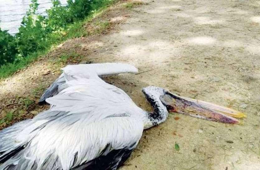बर्ड फ्लू नहीं फिर भी प्रवासी पक्षियों की मौत