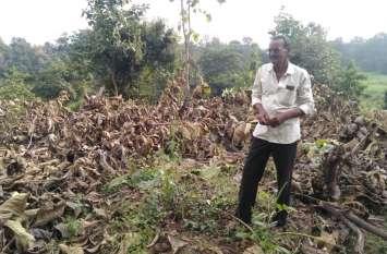 सागौन के पेड़ों की अवैध कटाई