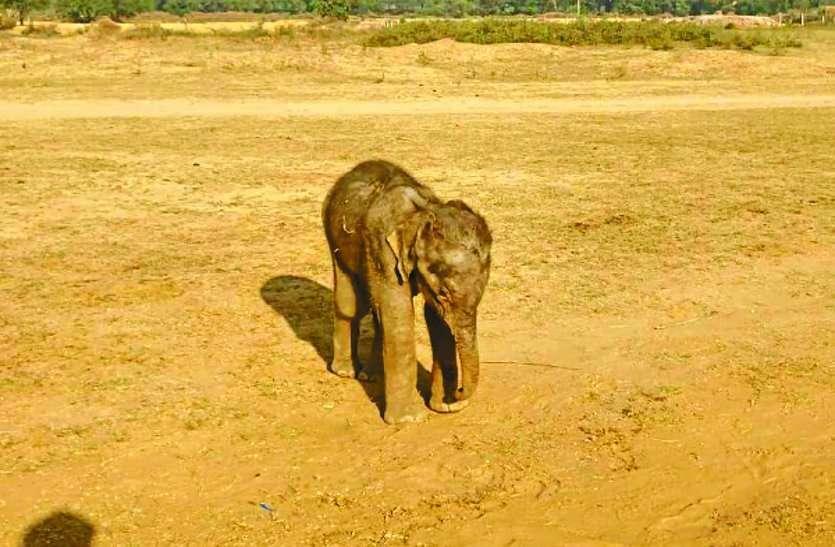 30 हाथियों के दल से बिछड़ा शावक हुआ बीमार, रेस्क्यू करने पहुंची टीम ने शुरू किया उपचार