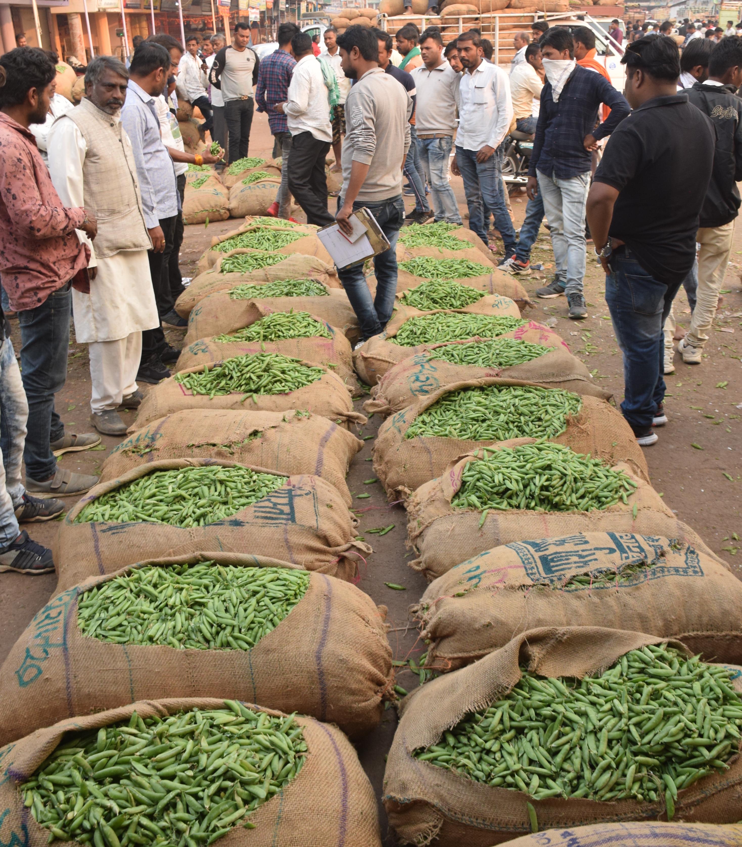 Green Peas,agricultural Produce,jabalpur,Bhopal, Raipur And Nagpur - दुनिया का सबसे मीठा मटर है ये, फसल आते ही मच जाती है लूट   Patrika News