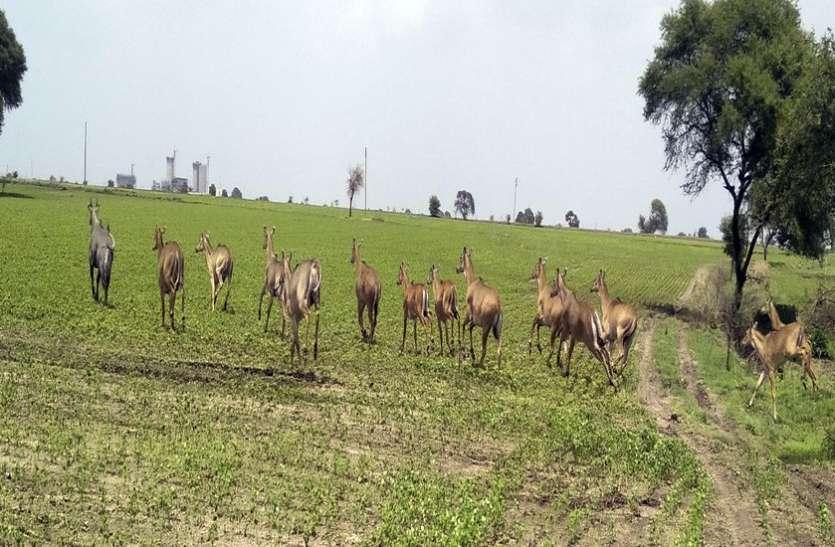 नीलगाय अब झुंड में रौंद रही है खेतों को