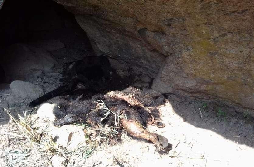 जंगल में मृत अवस्था में मिला भालू