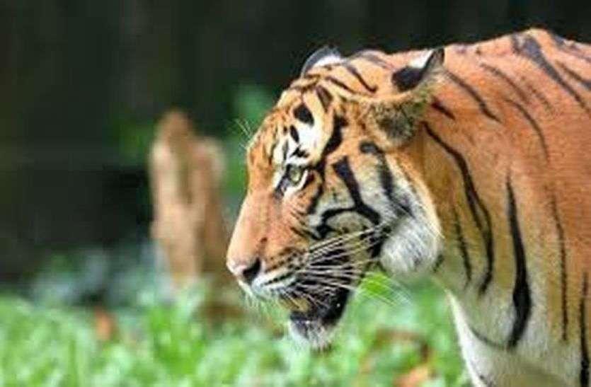 अब रणकपुर के निकट मोडिय़ा मगरी में टाइगर के लिए बनेगा एनक्लोजर