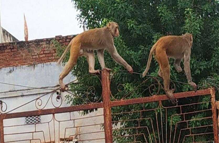 बंदरों के आंतक के सामने जिम्मेदार बने असहाय