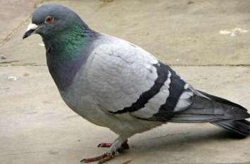 कबूतर की बीट छोड़ती है ये जानलेवा बैक्टीरिया, शरीर के कई अंग हो सकते है खराब